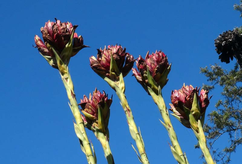 Doryanthes excelsa - the massive flower heads look dramatic against the blue sky
