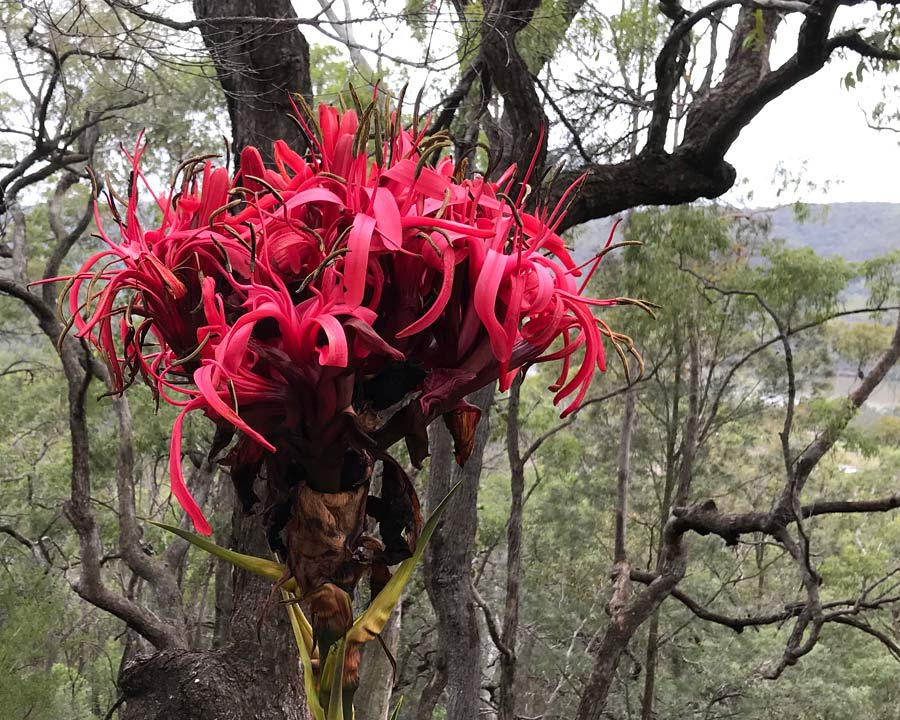 The large head of red lily flowers - Gymea Lily, Doryanthes excelsa growing in the bush around Wisemans Ferry