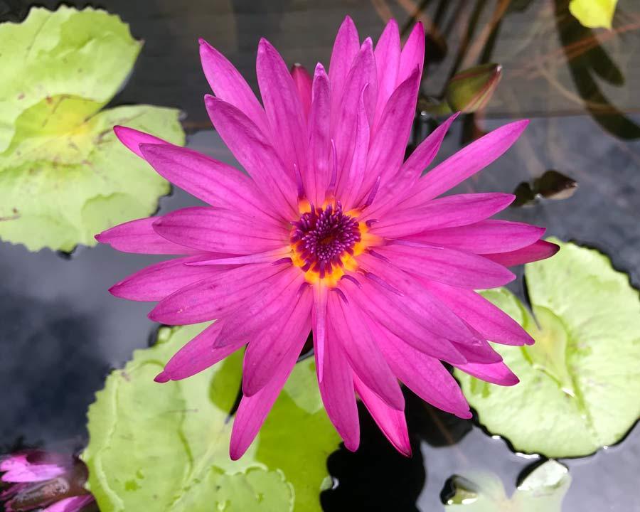 Deep magenta pink flowers of Nymphaea Charlie's Pride