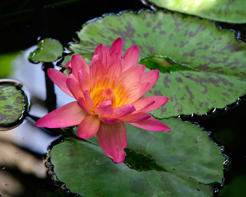 Nymphaea Tropical Hybrid Manassas - deep salmon pink flowers