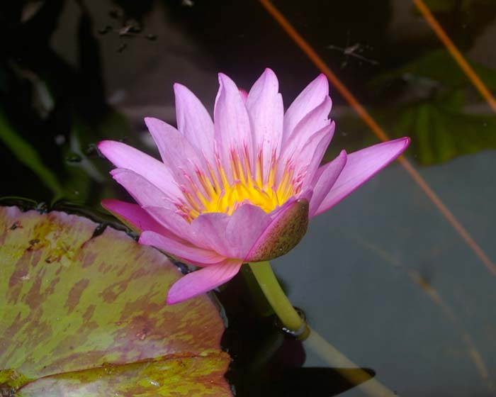 Nymphaea Tropical Charles Winch collection - this is Paula Louise