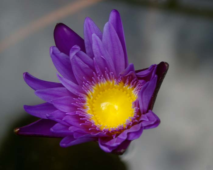 Nymphaea Tropical Charles Winch collection - this is Regal
