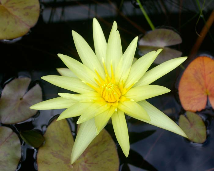 Nymphaea Tropical Charles Winch collection - this is Sunshine