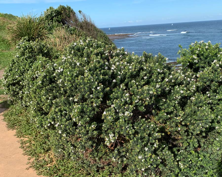 Westringia fruticosa perfect for coastal planting