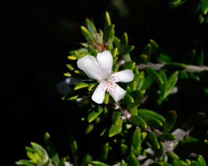 Coastal Rosemary Westringia fruiticosa - white two lipped flowers - the lower lips have purple freckles