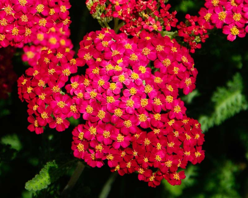 Achillea millefolium Paprika - small deep red flowers in tight flat Corymb shaped inflorescences