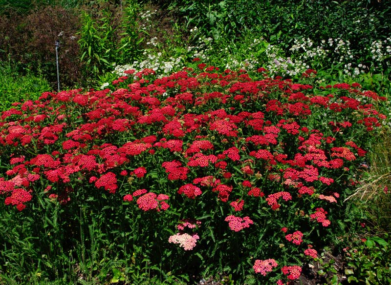 Achillea millefolium Paprika - deep red flowers and feathery leaves - great choice for garden borders