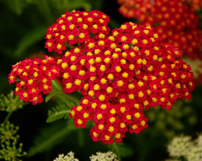 Achillea millefolium - Fanal