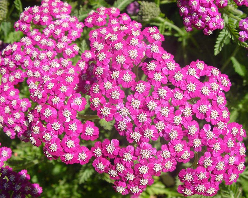 Achillea with vibrant pink flowers