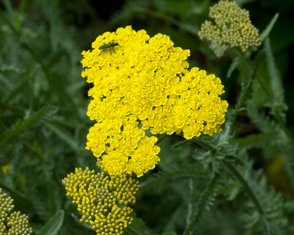 Achillea millefolium - this is Coronation Gold