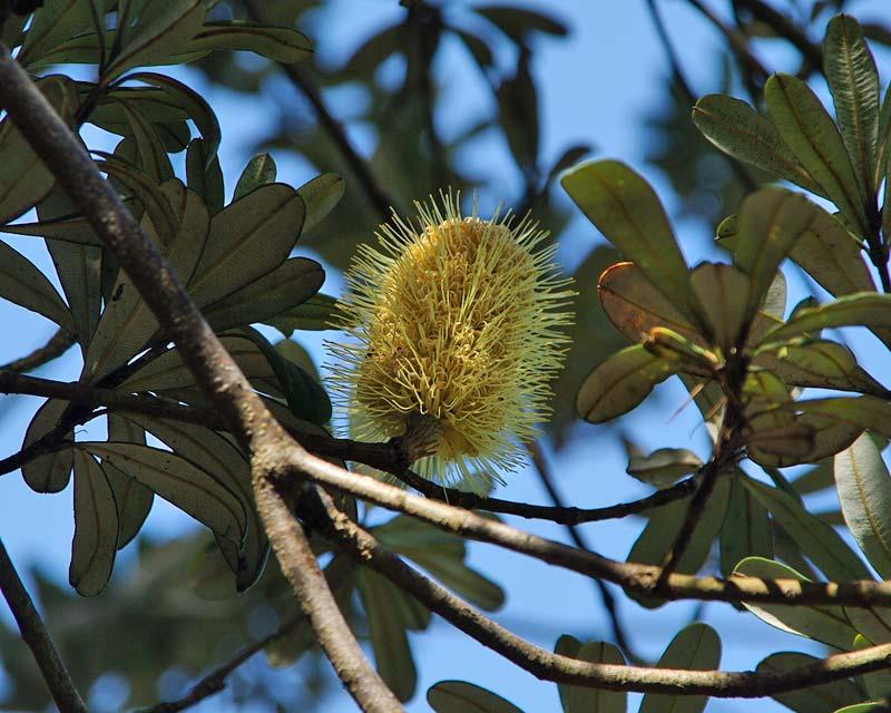 Banksia integrifolia, Coastal Banksia