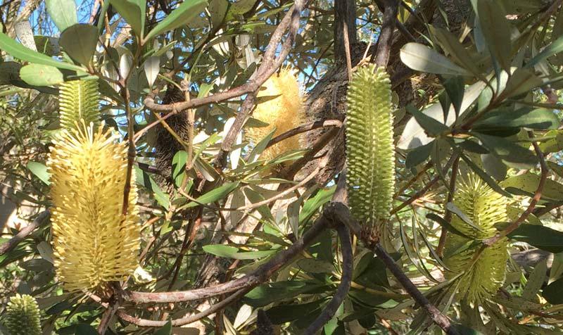 Banksia integrifolia - Coastal Banksia - new and mature cones