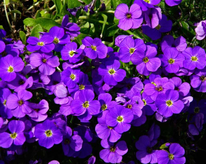 Aubrieta x GlacierBlue - deep mauve to purple flowers