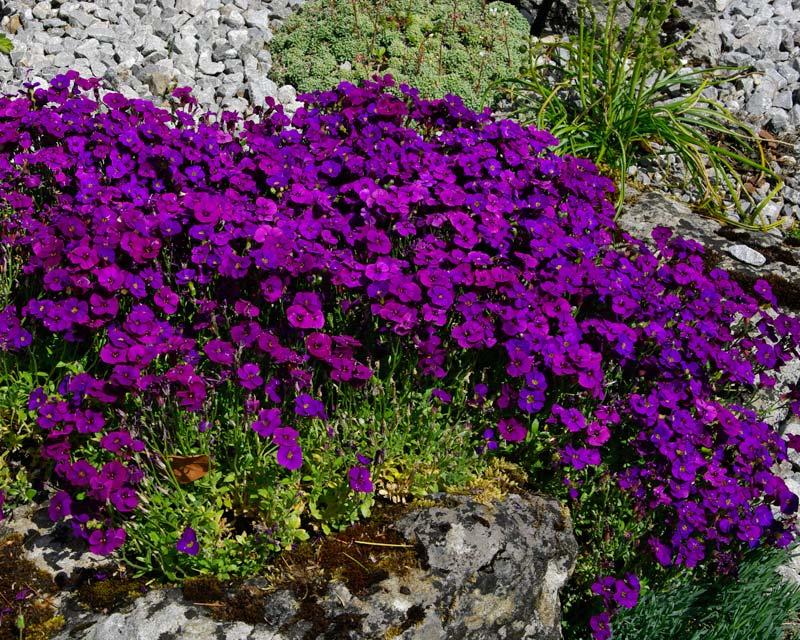 Aubrieta Kitte Purple