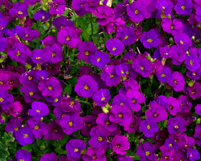 Aubrieta deltoidea - some darker shades available as well, this one is Purple Cascade.