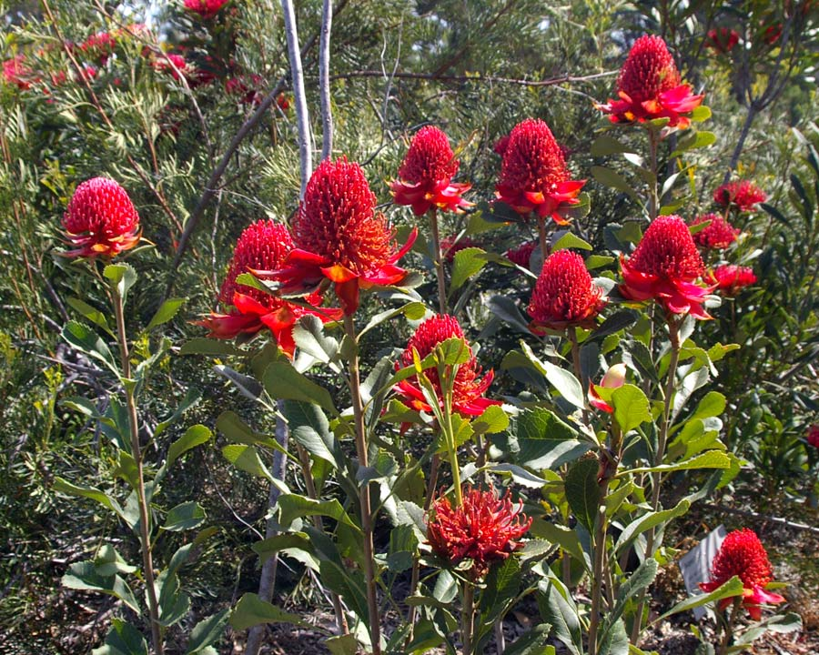 Wonderful dome of red flowers - Waratah  Telopea speciosissima
