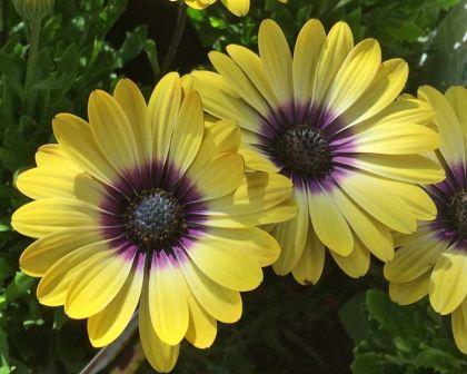 Gardensonline plant finder osteospermum ecklonis cultivar with yellow and purple flower mightylinksfo
