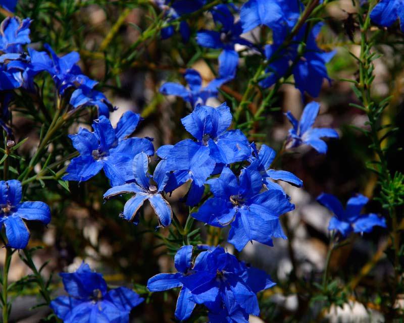 gardensonline  lechenaultia biloba  u0026 39 electric blue u0026 39