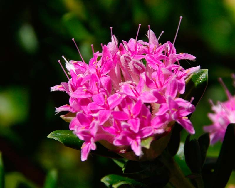 Pimelea ferruginea Rice flower - terminal clusters of small pink flowers