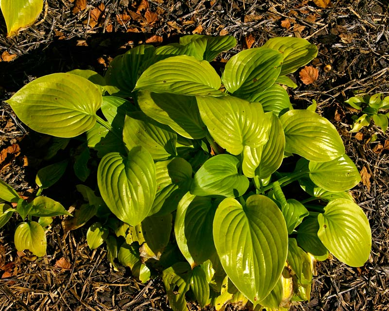 Hosta Plantaginea Grandiflora yellow-green leaves
