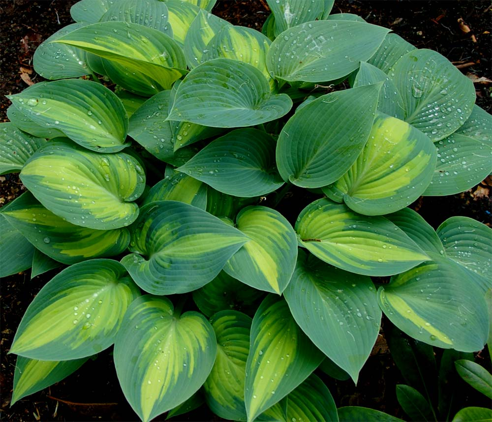 Hosta in damp shade - where they love it.