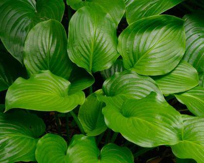 Hosta Plantaginea Gardensonline