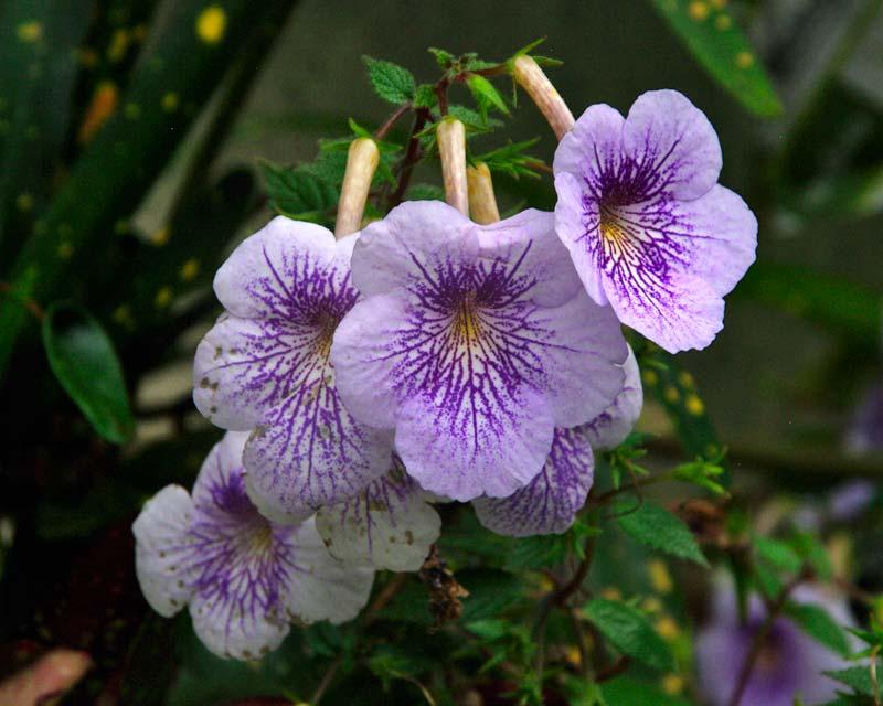 Achimenes 'Amboise Verschaffelt' mauve flowers with deep purple markings