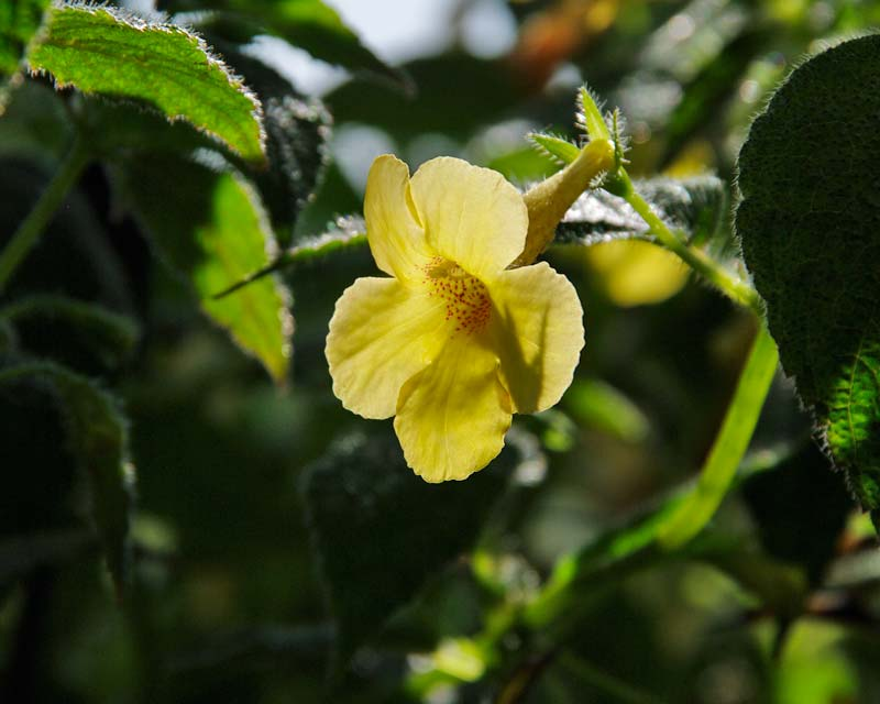 Achimenes Clouded Yellow Star
