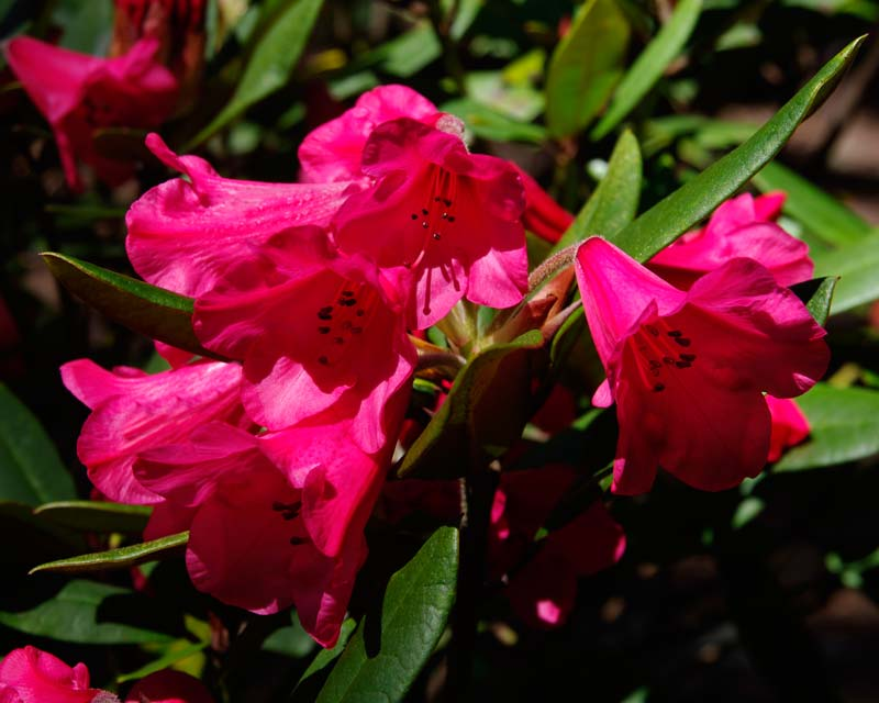 Rhododendron 'Winsome' small to medium sized shrub with deep pink bell shaped flowers
