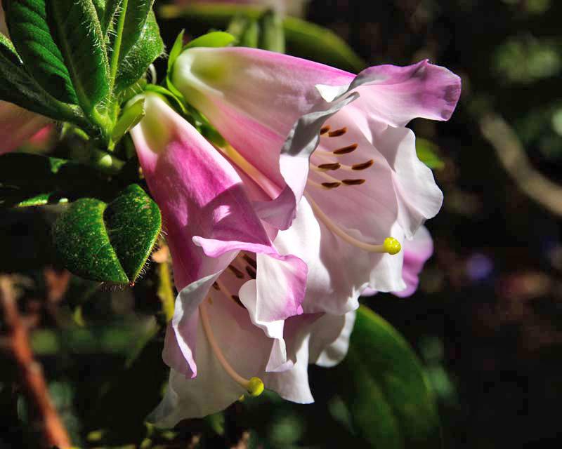 Rhododendron 'Countess of Haddington'