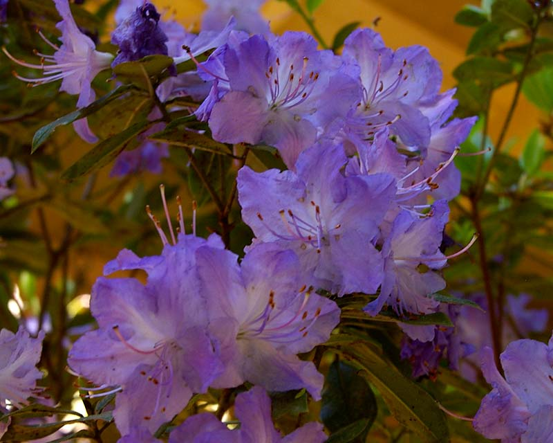 Rhododendron 'Florence Mann' is an Australian hybrid suitable for gardens in SE Australia