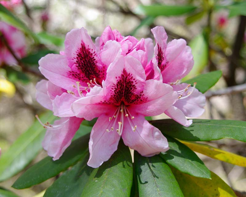 Rhododendron Mrs G. W. Leak. Flowers funnel shaped, light pink with crimson central flare. Blooms mid spring. Compact shrub