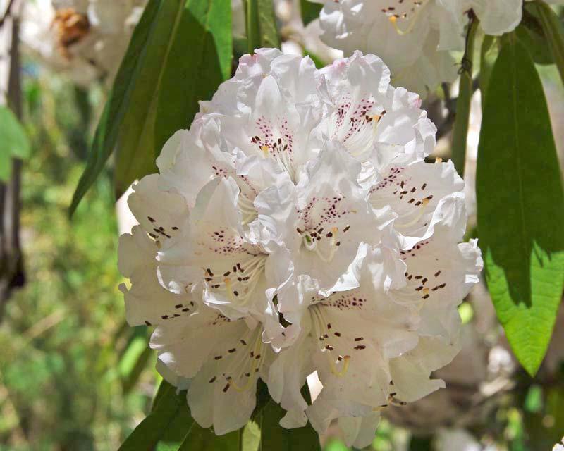 Rhododendron 'Triumphe de Grande'