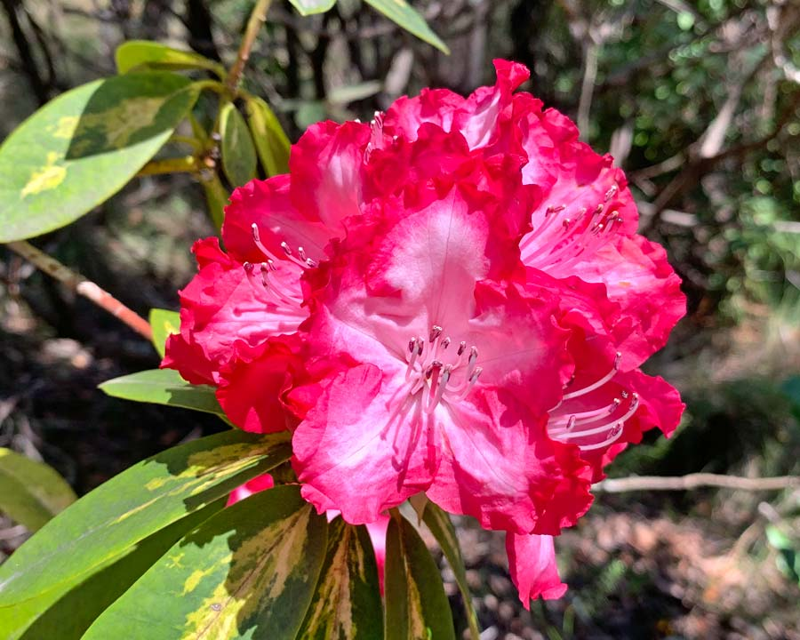 Rhododendron 'President Roosevelt'. White petals have frilly deep pink margins