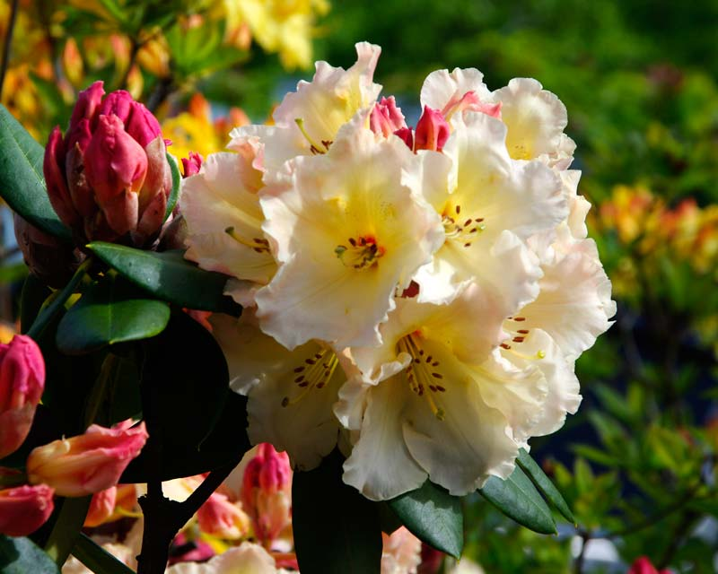 Rhododendron Golden Torch - Trusses of bell shaped pale yellow flowers that open from pink buds. Medium sized shrub growing to 1.5m
