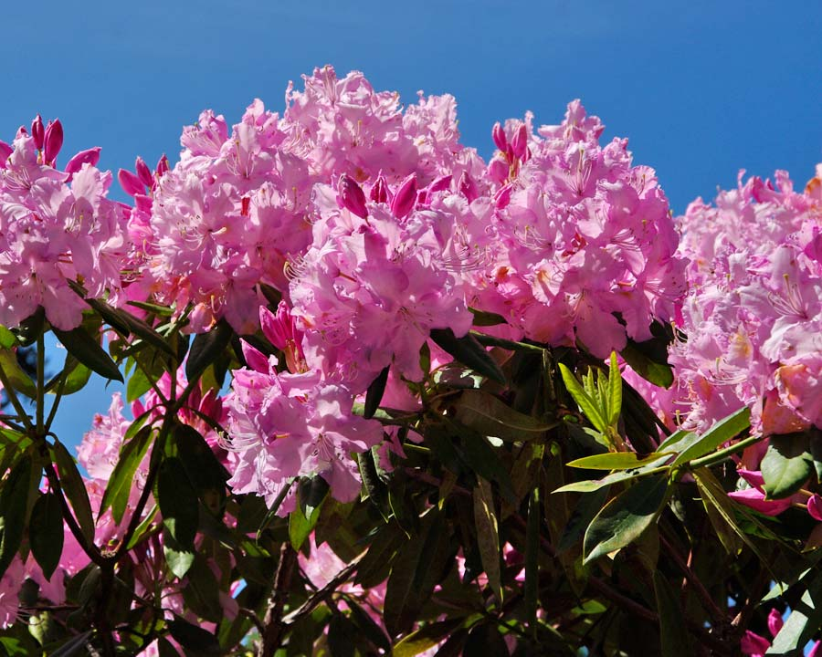 Rhododendron Mrs E.C. Stirling. Conical trusses of pale pink to mauve funnel shaped flowers. Medium growth rate.
