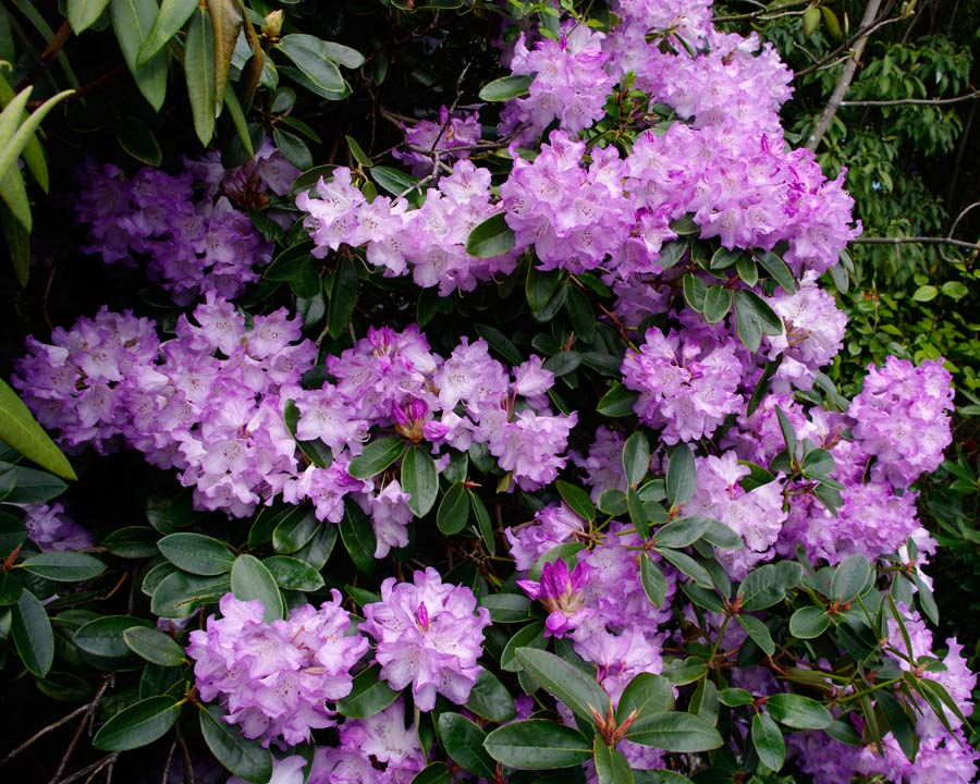 Rhododendron Robyn - as seen in Jubilee gardens, Hobart.  Trusses of pale mauve funnel shaped flowers.  Medium sized shrub to 3m