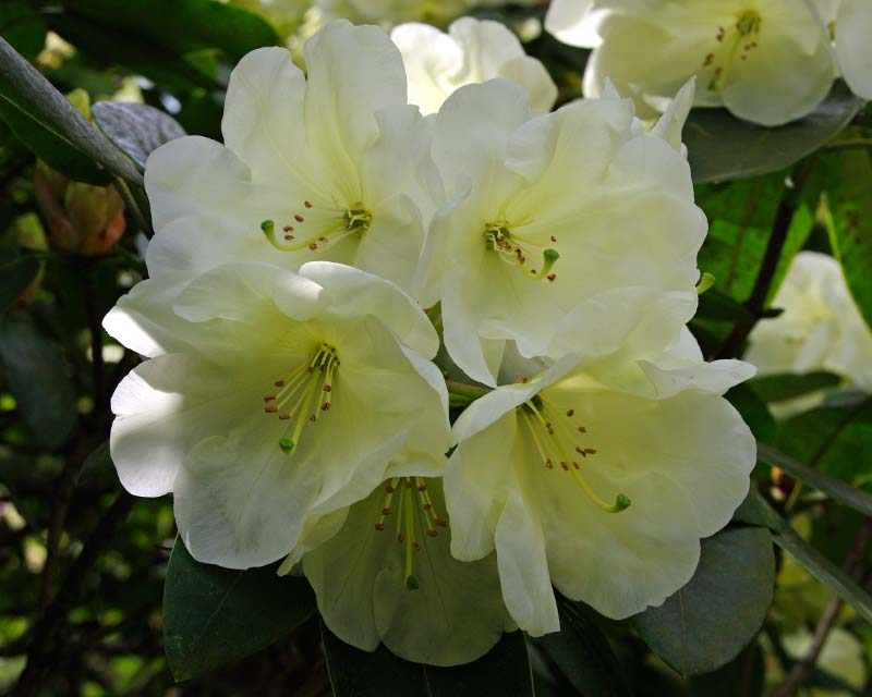 Rhododendron Roza Stephenson - trusses of soft lemon funnel shaped flowers. Flowers late spring.  Grows up to 1.8m
