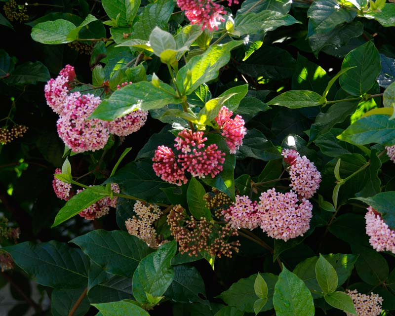 Rondeletia amoena - medium size shrub with pink flowers