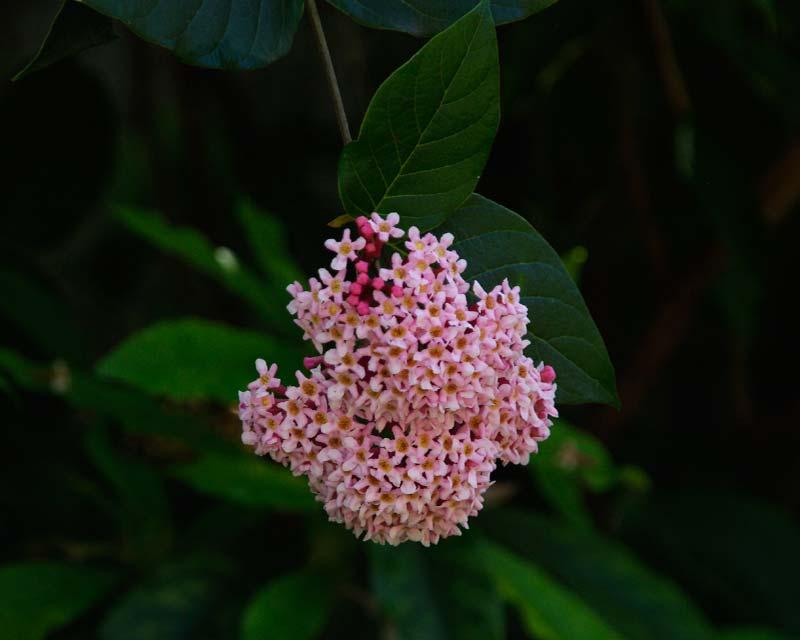 Rondeletia amoena - Sydney Botanic Gardens