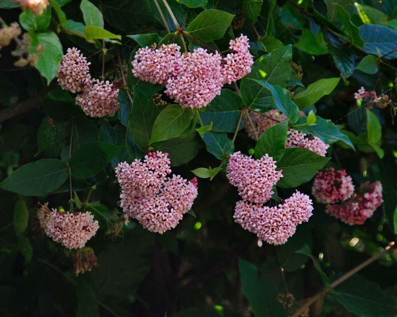 Rondeletia amoema - round clusters of pink tubular flowers