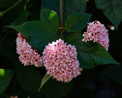 Rondeletia amoena - has round clusters of pink flowers