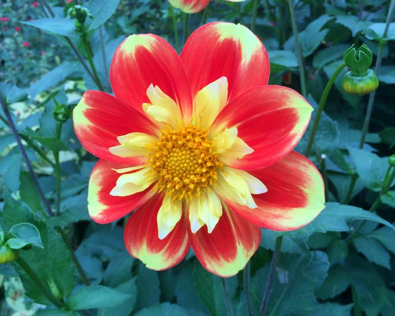 Dahlia Collerette Grpoup, this is 'Pooh'