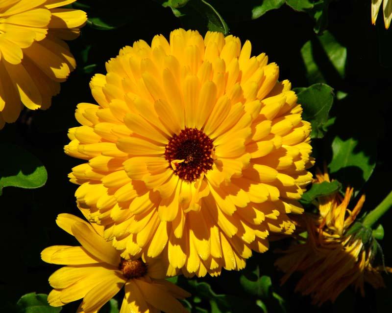 Calendula Officinalis X Pacific Beauty Gardensonline