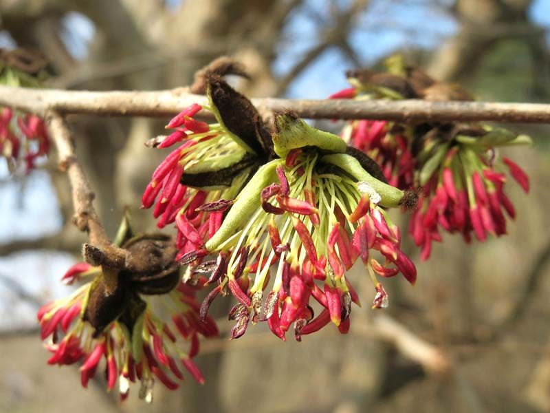 In  late winter and spring - small petalless flowers with bright red stamen - Parrotia persica  photo by AnRo002