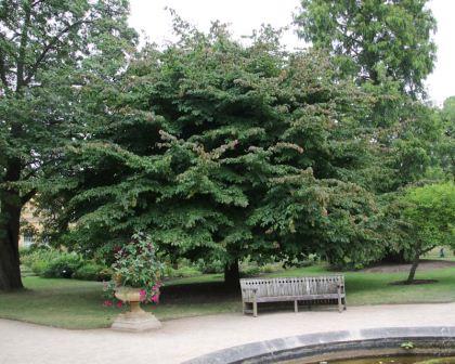 Parrotia Persica Gardensonline