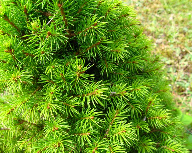 Picea glauca Conica - White Spruce dwarf, photo Athantor