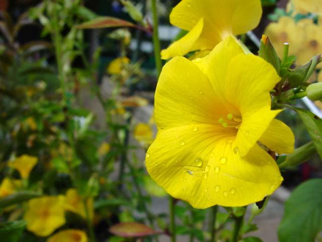 Reinwardtia indica - yellow trumpet shaped flowers