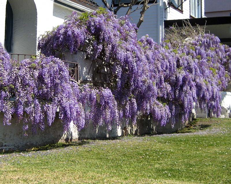 Gardensonline Wisteria Sinensis