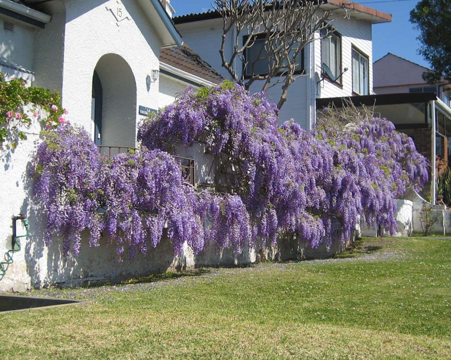 Chinese wisteria - wisteria sinensis- wonderful display of drooping racemes of purple flowers